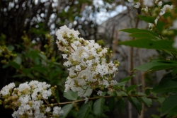 Crepe Myrtle Flowering - Late Summer