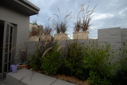 Purple Grass grown in pots and placed on wall to add privacy from the neigbours