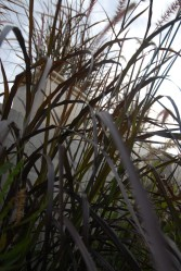 Towering Purple Grass